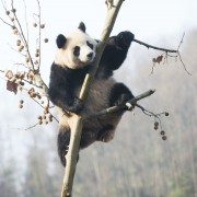Everland-panda-zoo