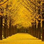 Nami-island-tree-lined-path-autumn