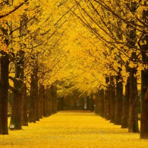 Nami-island-tree-lined-path-autumn