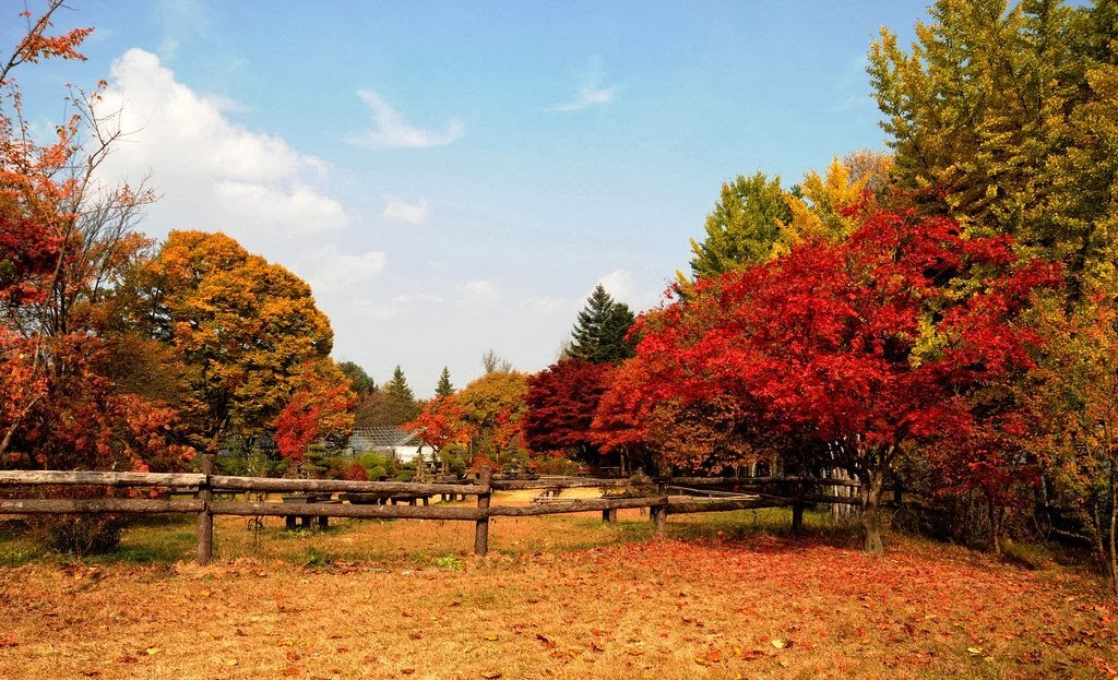 nami-island-fall-tree-red-leaves