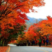naejansan-autumn-red-leaves-change-colours-fall-foliage-street-maple-tree