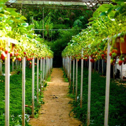 strawberry-farm-korea-picking