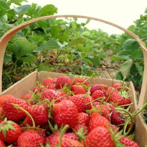 strawberry-picking-basket-korea-nami-island