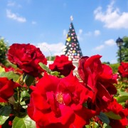 everland-rose-festival-garden
