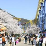 seoul_land_rollercoaster_blackhole2000_spring_cherry_blossoms