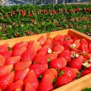 Nami-island-strawberry-picking