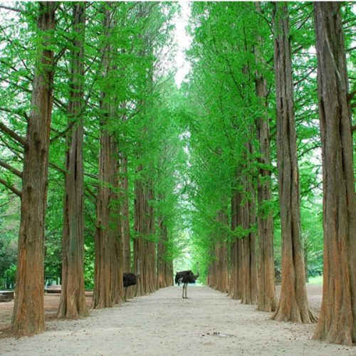 Nami-island-tree-lined-road