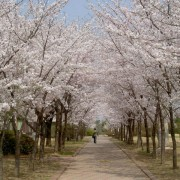 Cherry-blosoom-Korea-beautiful-Seoul-Namsan-park