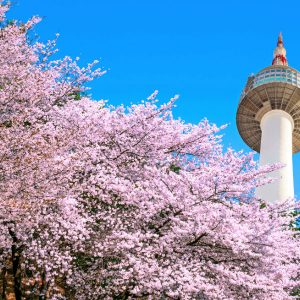 Cherry-blosoom-Korea-beautiful-Seoul-N-Seoul-Tower-Namsan