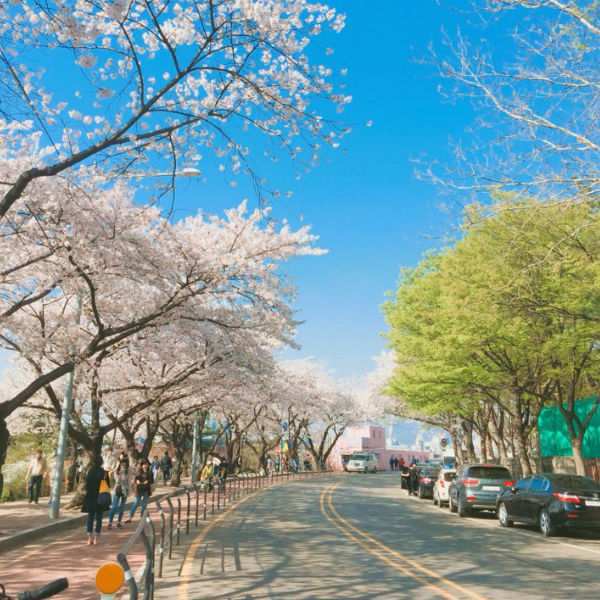 Cherry-blosoom-Korea-beautiful-street
