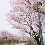 Cherry-blosoom-Korea-beautiful-tree-pink-Seoul