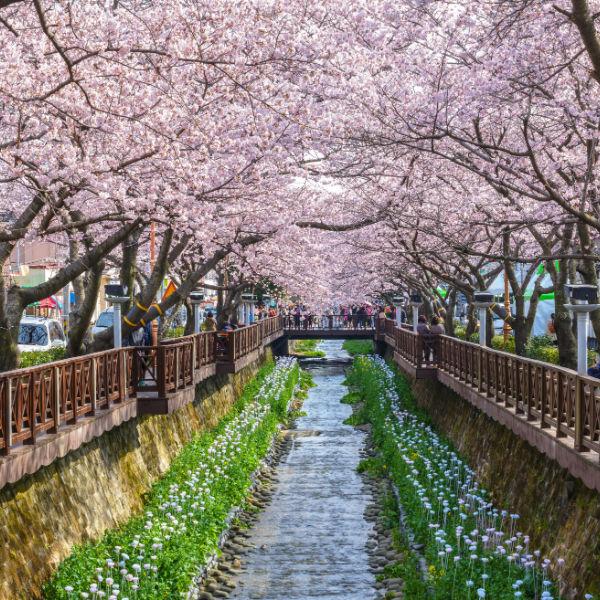 2018 Korea Jinhae Cherry Blossom Festival  1-Day shuttle bus package tour (From Seoul Mar 30 – Apr 10) | KoreaTravelEasy