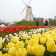 taean-tulip-festival-Korea-aerial-flower-field-view-close-up-yellow-korean-tulips
