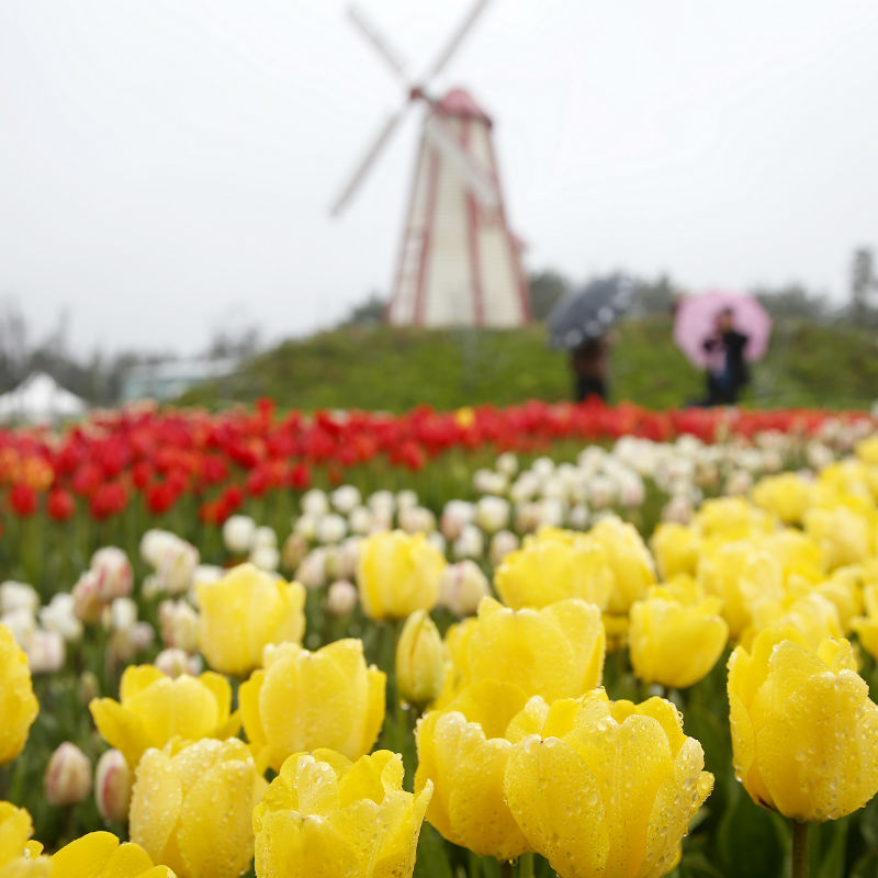 UP TO 10%, 2018 Taean Tulip Festival and Strawberry Farm Picking 1-day tour shuttle package (until May 12) | KoreaTravelEasy