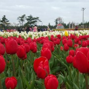 taean-tulip-festival-Korea-close-up-flower-field-view
