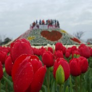 taean-tulip-festival-Korea-close-up-flower-view