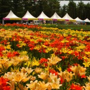 taean-tulip-festival-Korea-close-up-yellow-flower-field-view