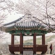 bugak_skyway_pavillion_cherry_blossoms