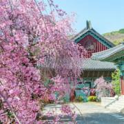 Gyeongbokgung-Palace-Cherry-Blossoms