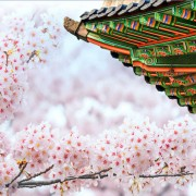 Gyeongbokgung-Palace-With-Cherry-Blossoms