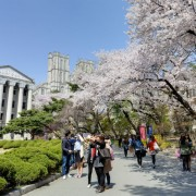 KyungHee-University-Cherry-Blossoms