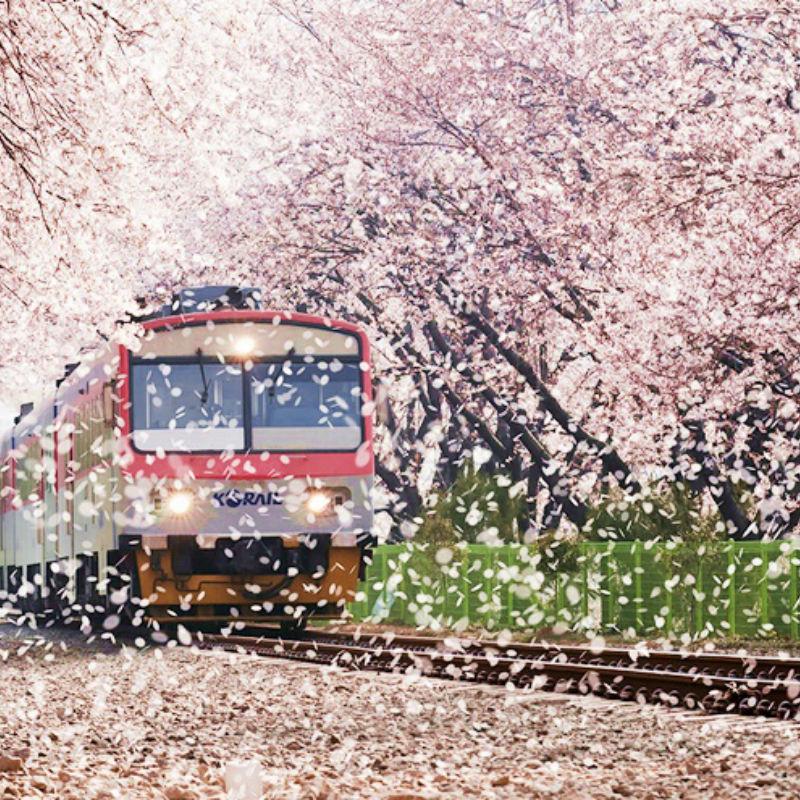 2018 Jinhae Cherry Blossom Festival 1 Day Shuttle Bus Package tour (From Busan Mar 30 – Apr 10) | KoreaTravelEasy
