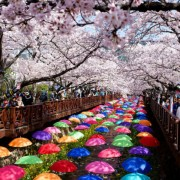 jinhae-cherry-blossom-festival-Korea-umbrella-road-people