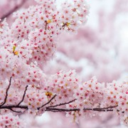 jinhae-cherry-blossom-festival-Korea-sakura-closeup
