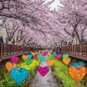jinhae-cherry-blossom-festival-Korea-hearts-road-romantic