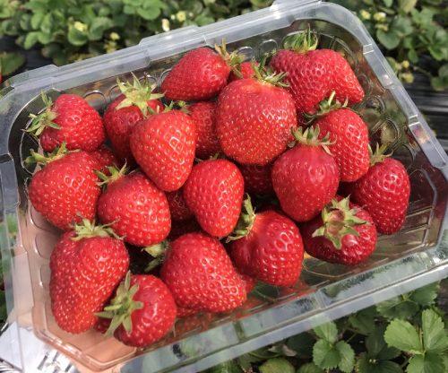koreatraveleasy-strawberry-01