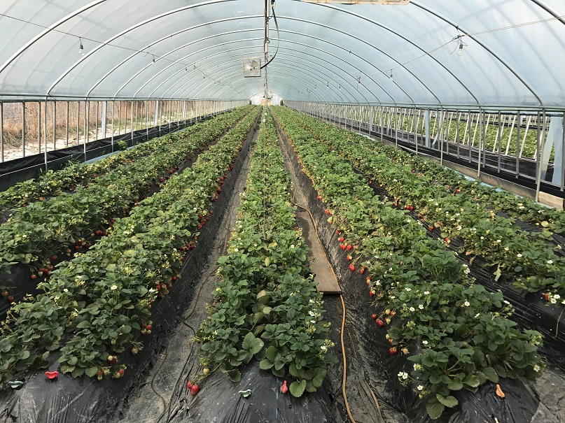 koreatraveleasy-strawberry-farm-01