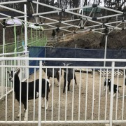 Jeonju-animal-farm-cheese-making