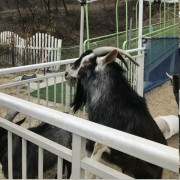 Jeonju-animal-farm-cheese-making-feed-sheep-activity