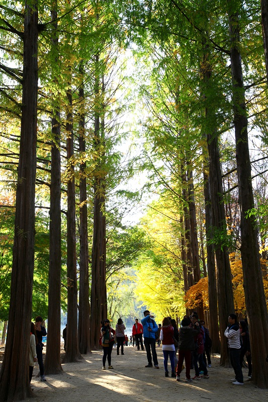 koreatraveleasy-nami-island-Metasequoia