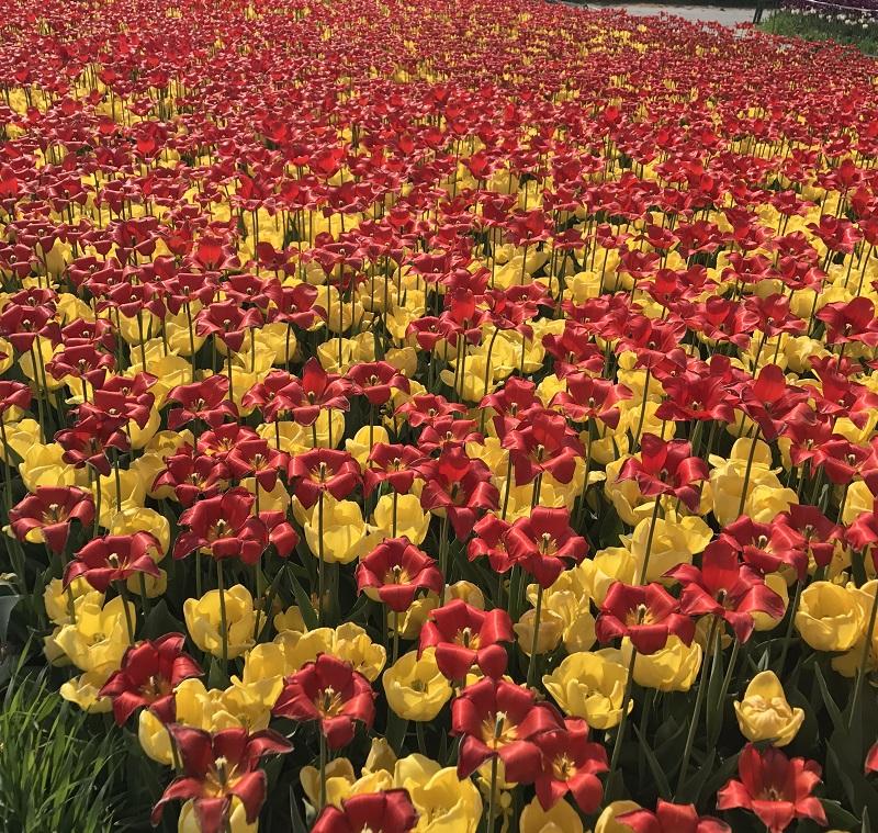 koreatraveleasy-taean-tulip-01