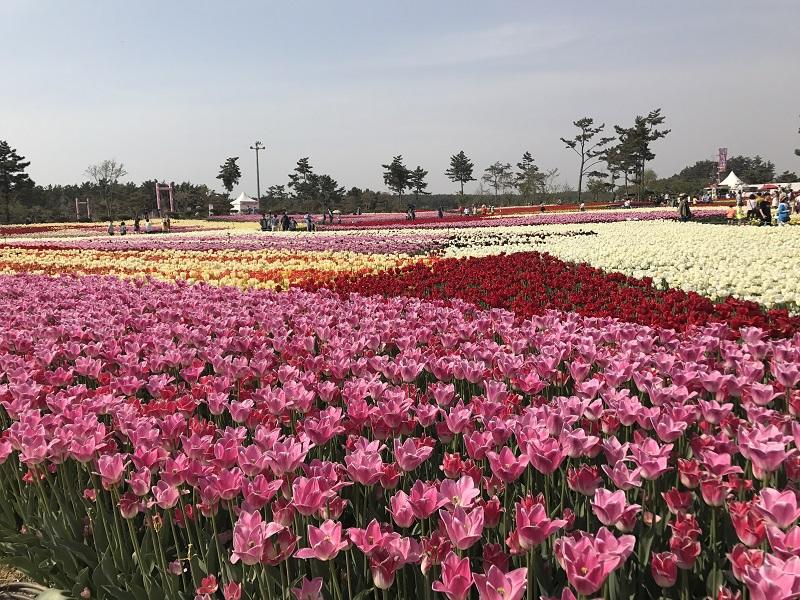 koreatraveleasy-taean-tulip-03