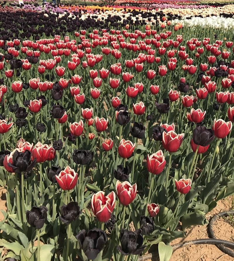 koreatraveleasy-taean-tulip-04