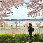 Gangneung-Gyeongpo-lake-Cherry-blossoms