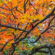 Jirisan Mountain Maple Leaves