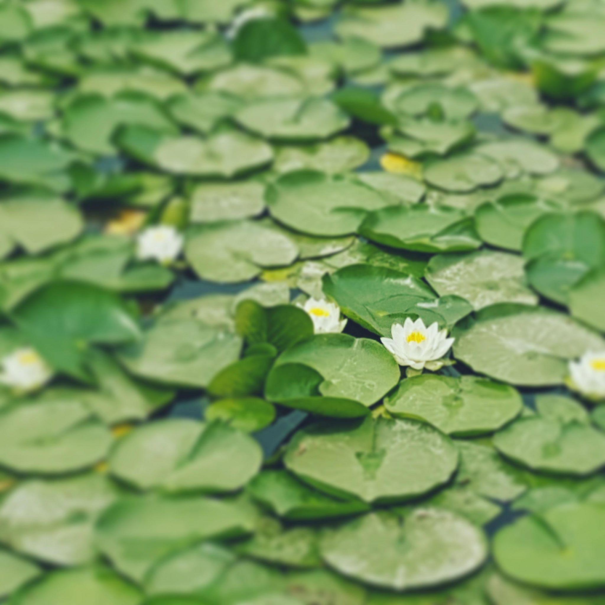 gyeongbokgung-lotus-flower