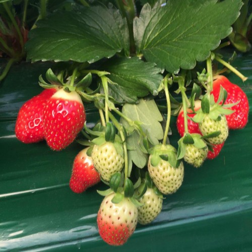 strawberries-at-the-farm