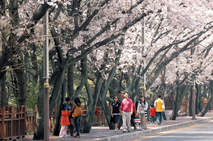 busan-cherry-blossom-haeundae-dalmaji-road