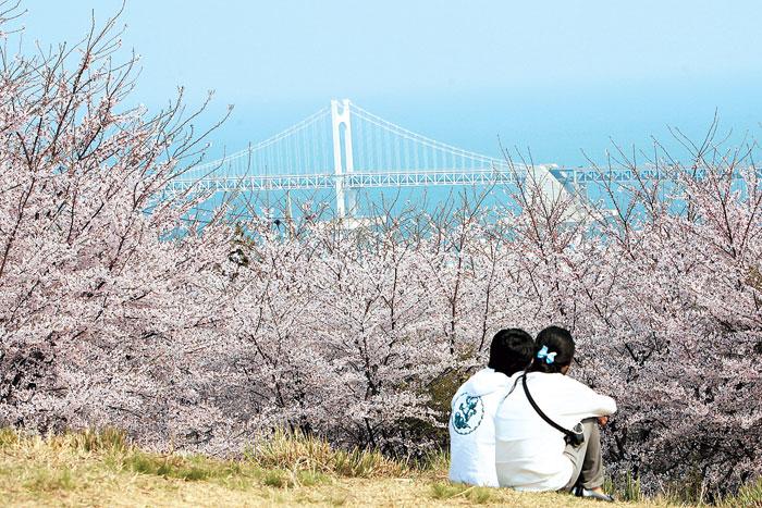 busan-cherry-blossom-mt-hwangnyeong-ring-road