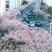busan-cherry-blossom-namcheon-dong-road