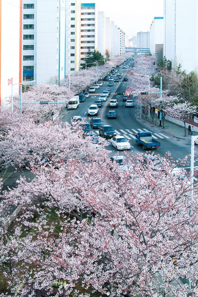 busan-cherry-blossom-namcheon-dong-road