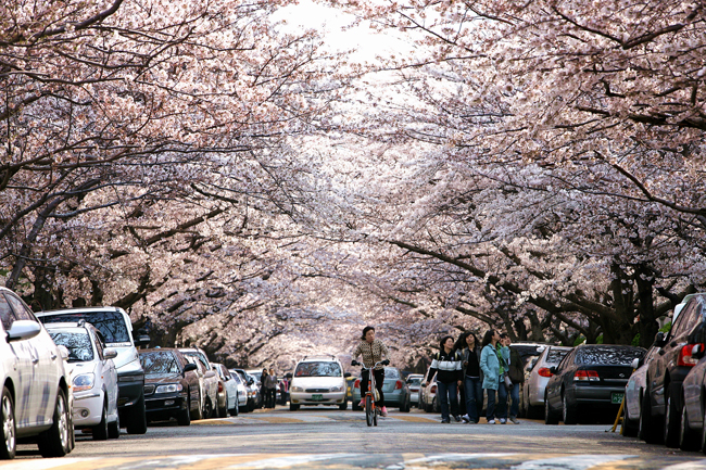 namcheon-dong-cherry-blossom-road-busan-2018