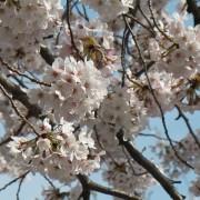 cherry-blossom-korea-2018