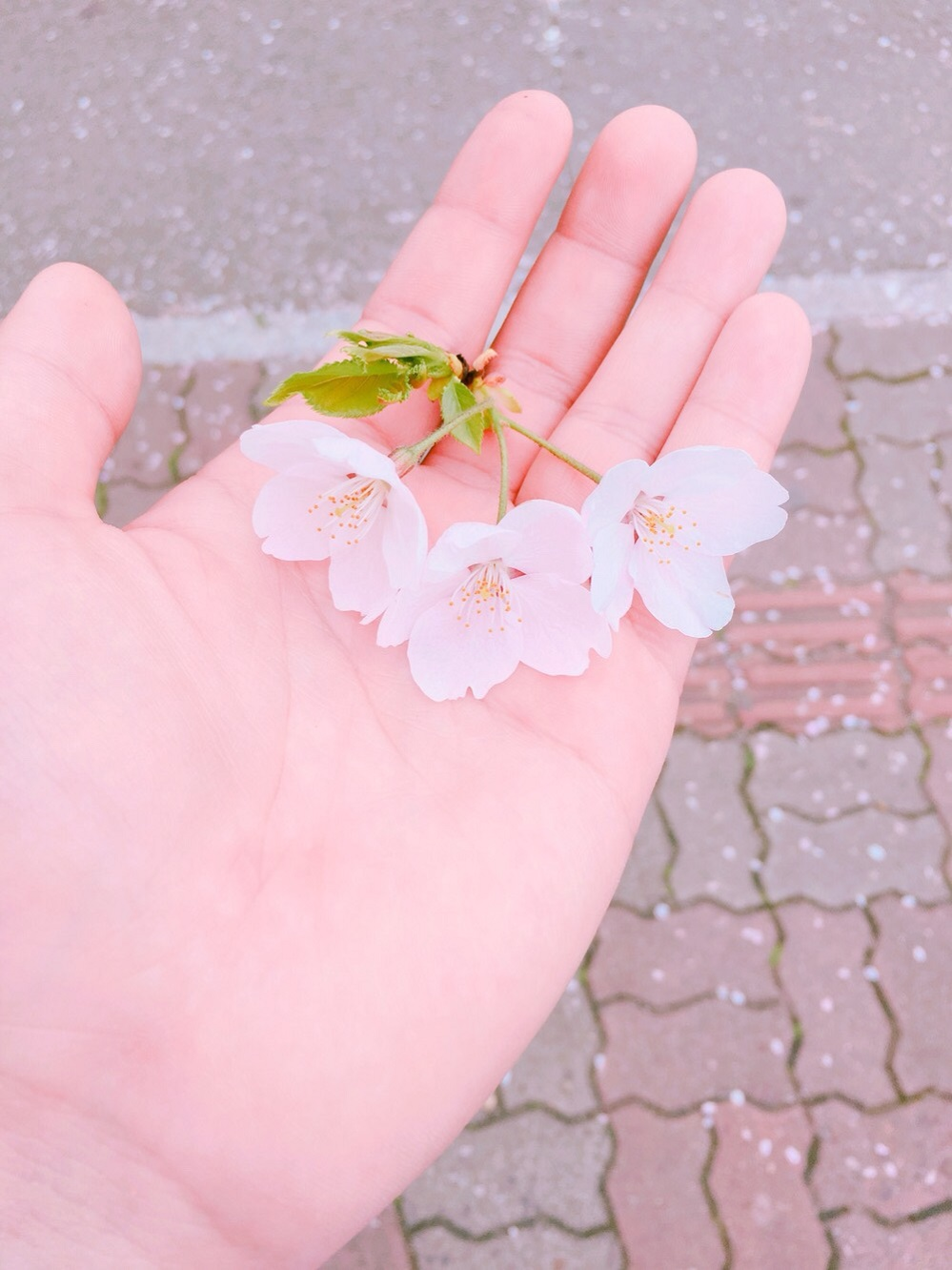 korea-cherry-blossoms-in-hand