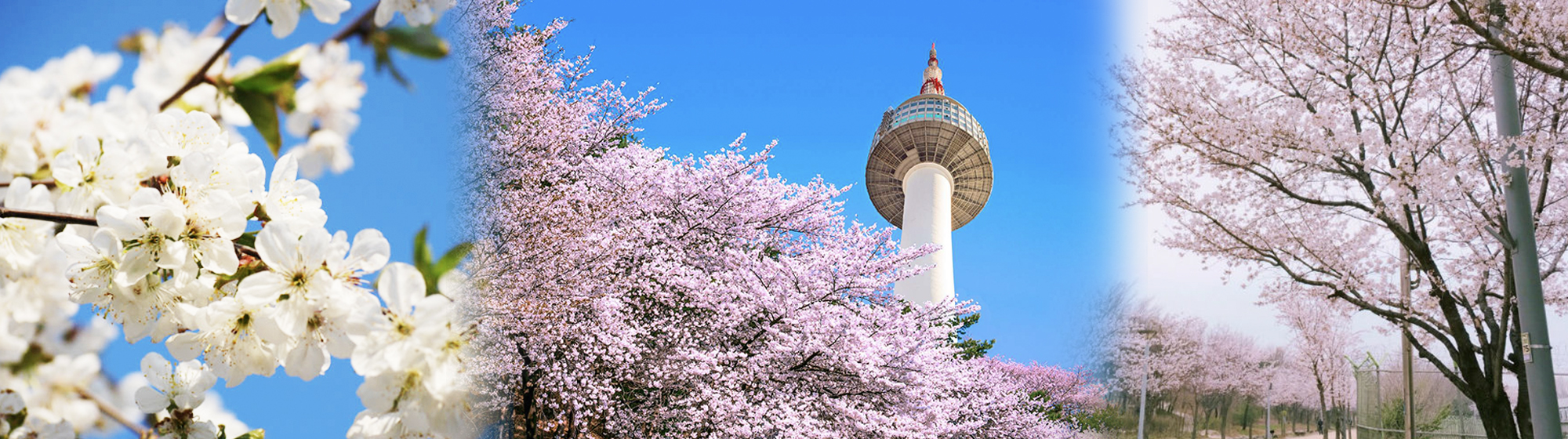 2020 The best of Korea Spring Cherry Blossom 1day shuttle bus tour – Seoul and around Seoul (Apr 6 – 15) | KoreaTravelEasy