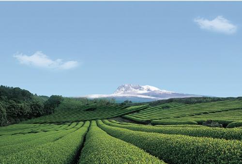jeju-island-osulloc-tea-museum